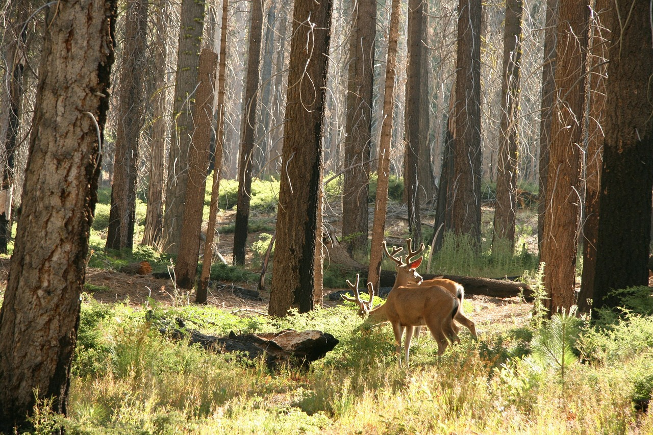 Deer Wildlife Forest Woods Trees  - PublicDomainPictures / Pixabay